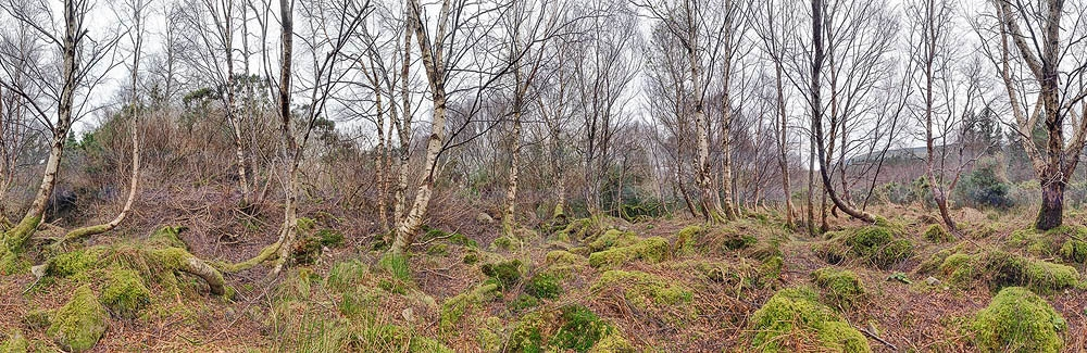 Tomies Wood Kerry Silver Birch Trees