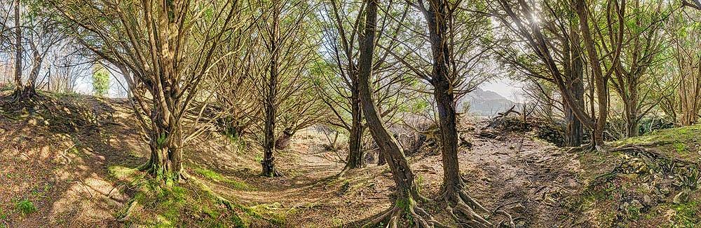 Yew Forest Kerry Killarney National Park