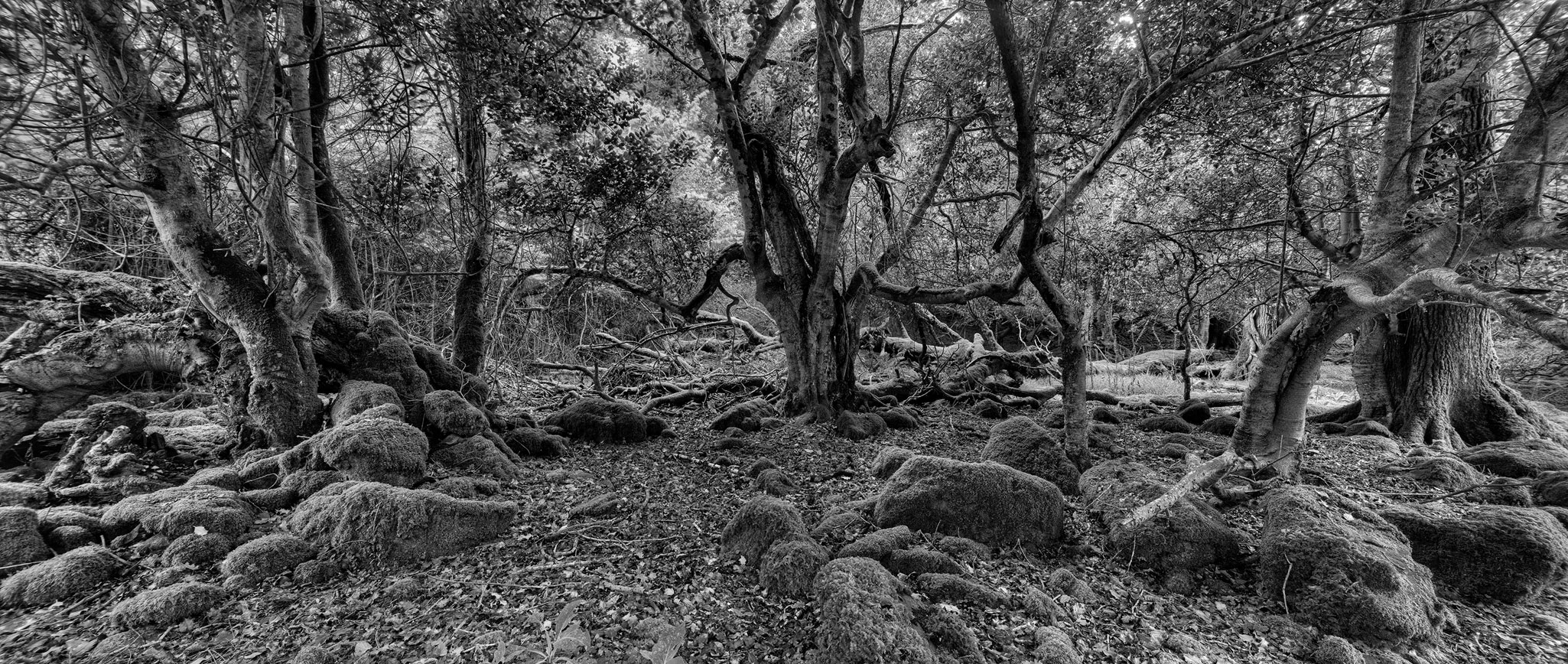 irish forest photo Tomies Wood kerry