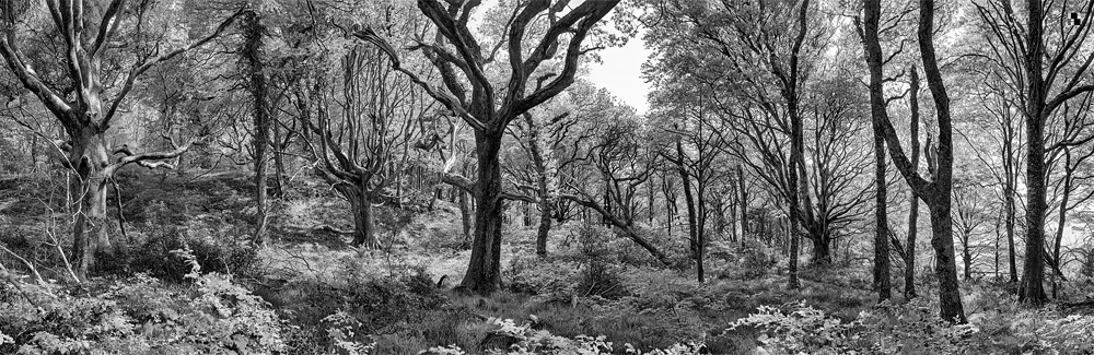 Ross island Forest black and white forest photo