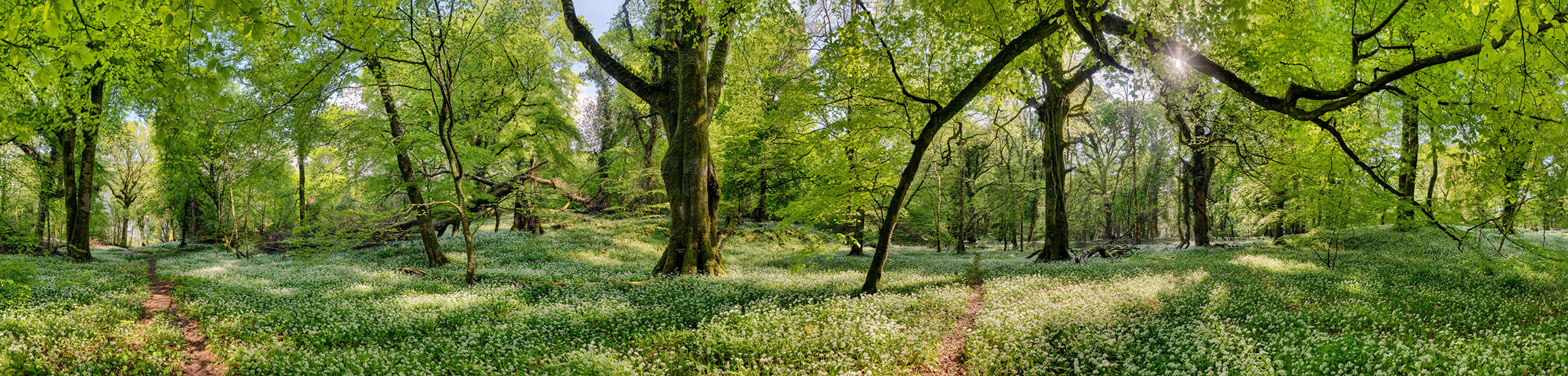 Ross island Forest wild garlic photo forest panoramic