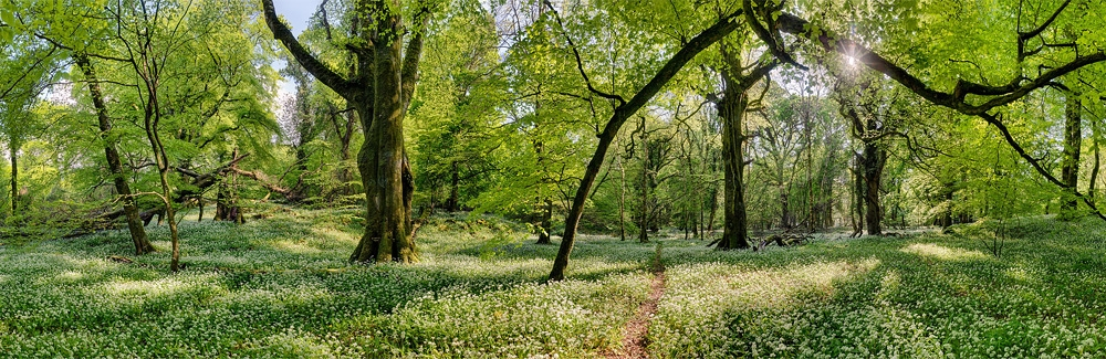 Ross castle forest wild garlic photo forest panoramic