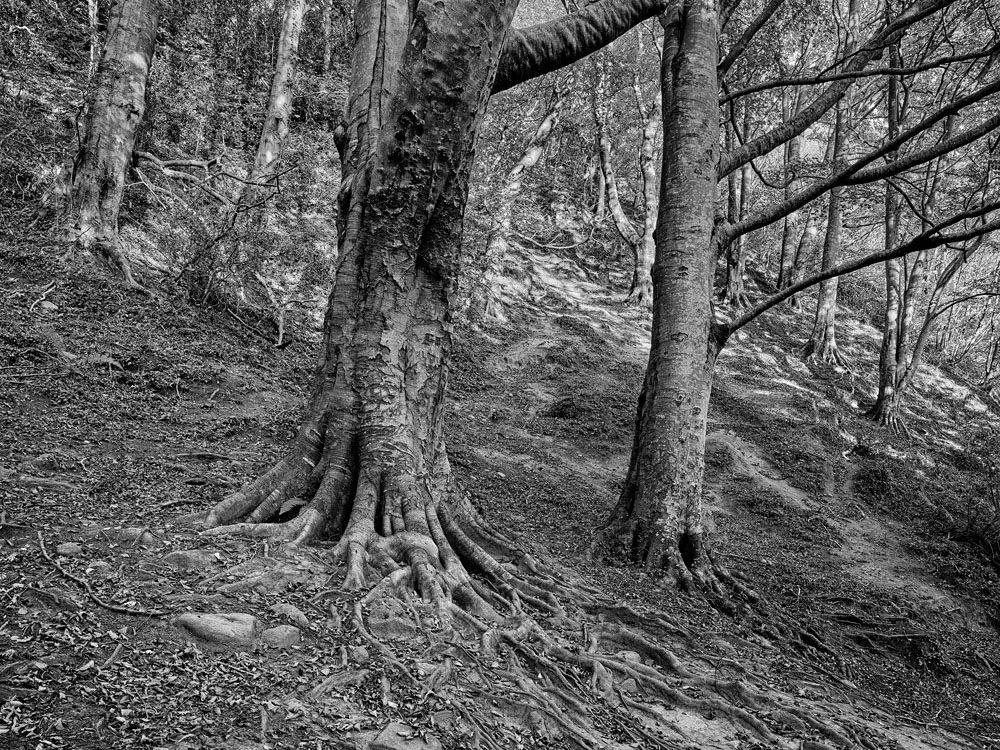 Black and white image of trees in Knocksink Wood