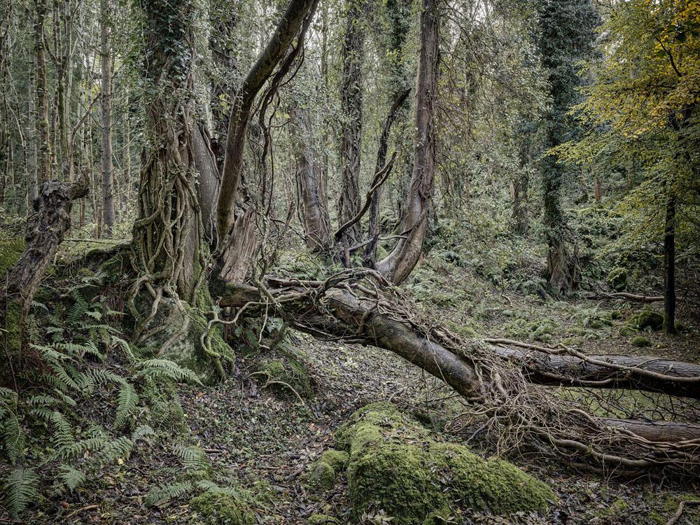 Knocksink Wood Irish Forest Photograph